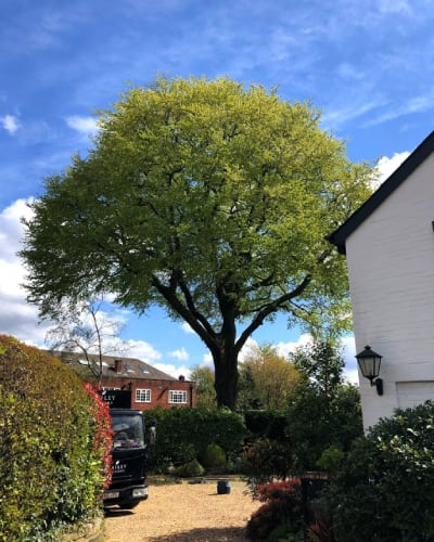 Tree after a tree surgeon reduction